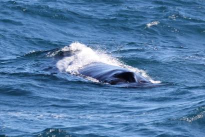 Это морда кита